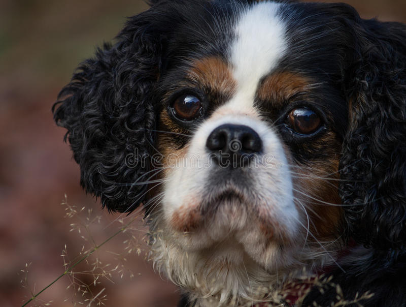 Arrogante Koning Charles Spaniel Dog Breed stock fotografie