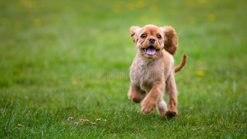 Arrogante Koning Charles Spaniel Puppy stock foto's