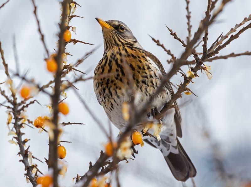 Arrojarse en una rama de espino marino en un día de invierno foto de archivo libre de regalías