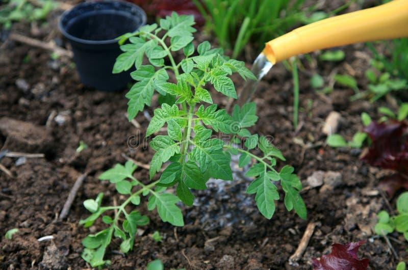 Arrosage d'une tomate frais plantée photos stock