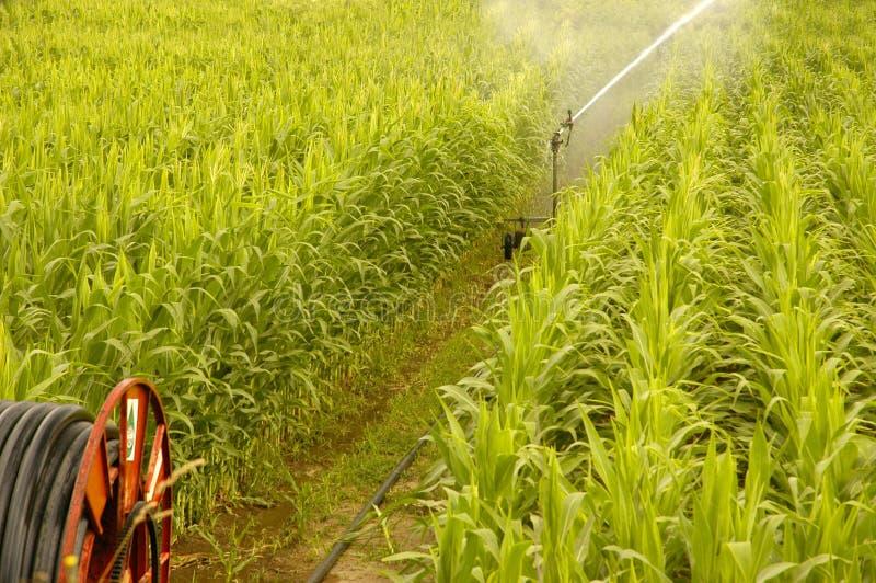 Arrosage d'une zone de maïs image stock