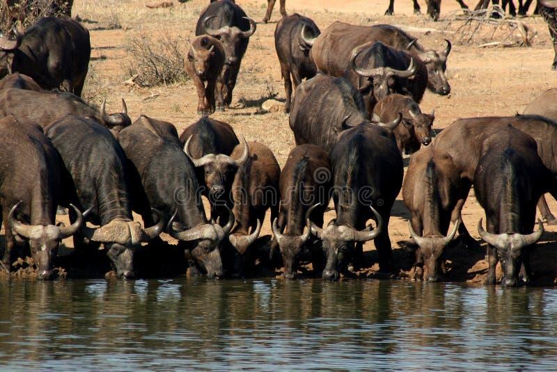 Arrosage de Buffalo photo libre de droits