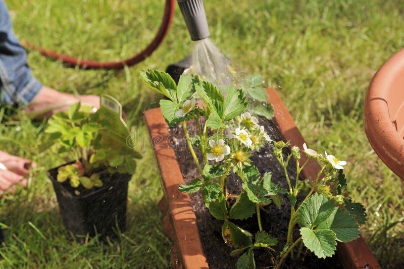 Arrosage de fraise de jardin images libres de droits