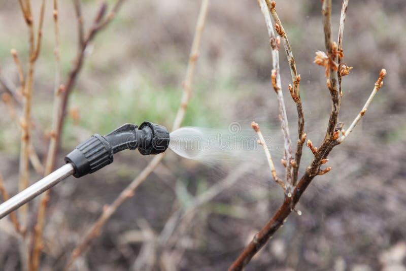 Arrosage de la groseille avec du fongicide photo stock