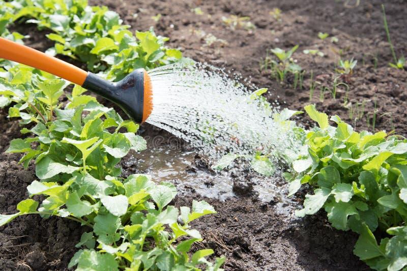 Arrosage de nouveaux légumes photo libre de droits