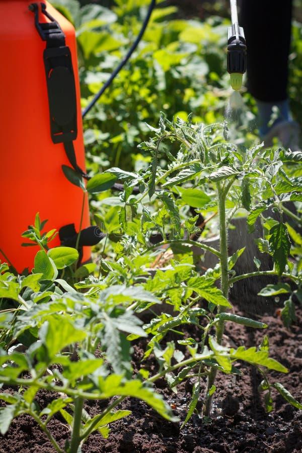 Arrosage des buissons de tomate Plantes de tomate protectrices des maladies image stock