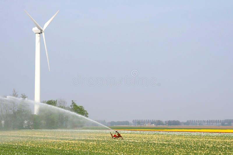 Arrosage des champs de tulipe près d'un moulin à vent photographie stock libre de droits