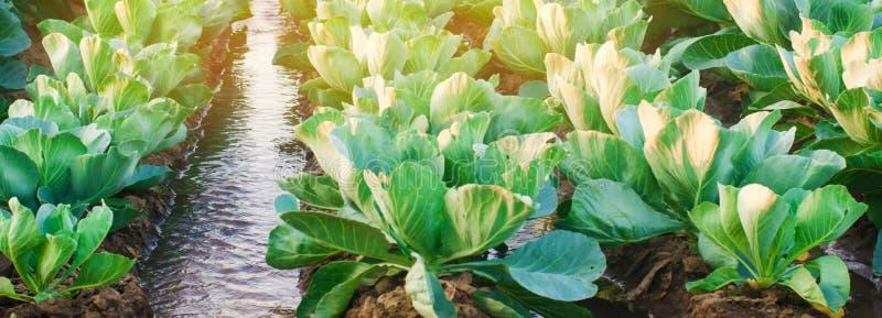 Arrosage naturel des cultures agricoles, irrigation Les plantations de chou se d?veloppent dans le domaine rang?es v?g?tales Agri photo stock