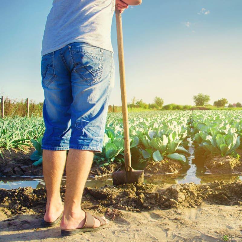 Arrosage naturel des cultures agricoles, irrigation Les plantations de chou se d?veloppent dans le domaine rang?es v?g?tales Agri photographie stock