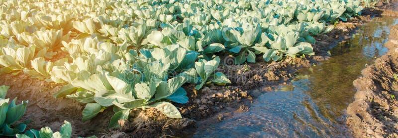 Arrosage naturel des cultures agricoles, irrigation Les plantations de chou se d?veloppent dans le domaine rang?es v?g?tales Agri images stock