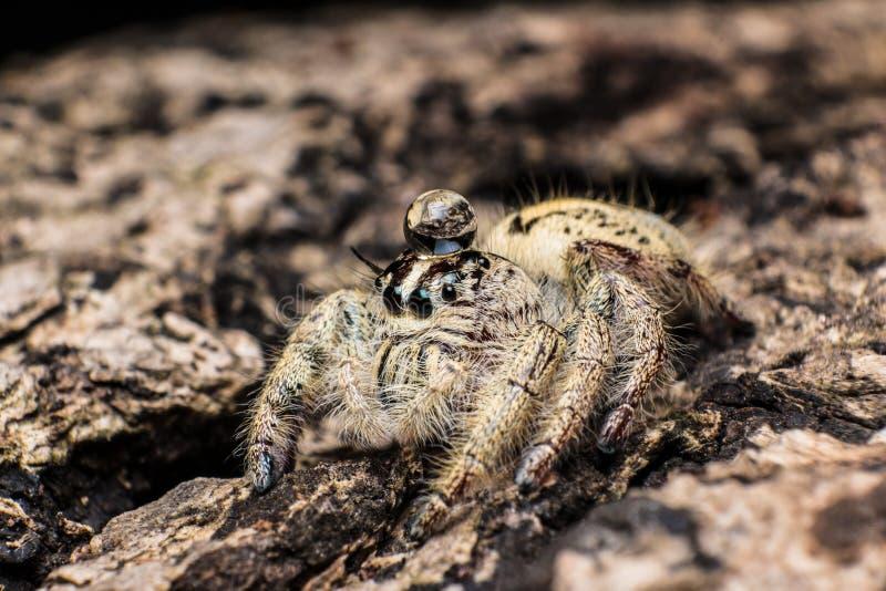 Arrosez la baisse sur l'araignée sautante principale Hyllus sur une écorce sèche photographie stock