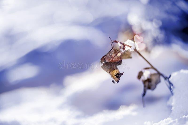 Arrosez la baisse sur une brindille neigeuse sèche congelée d'usine avec la forme de coeur photos libres de droits