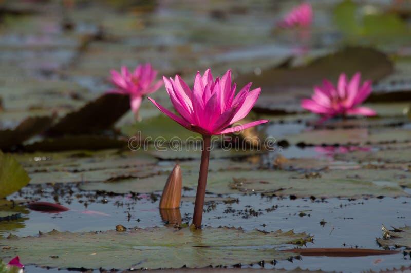 Arrosez la fleur de Lilly ou la fleur de Lotus fleurissant dans le lac images libres de droits