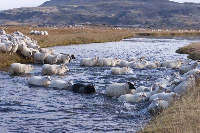 Arrotondamento in su delle pecore in Islanda fotografia stock libera da diritti