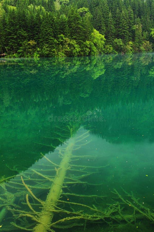 Arrow bamboo jianzhu lake jiuzhai summer royalty free stock photography