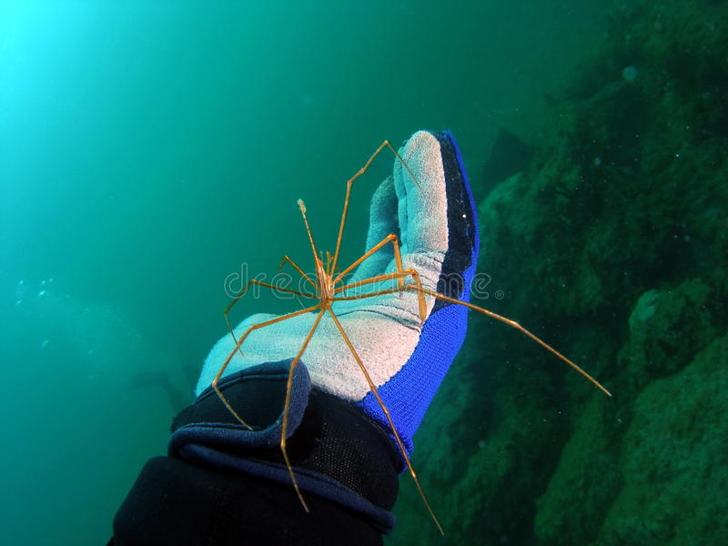 Arrow Crab. A diver with a arrow crab on his dive glove off the south Florida coast stock image