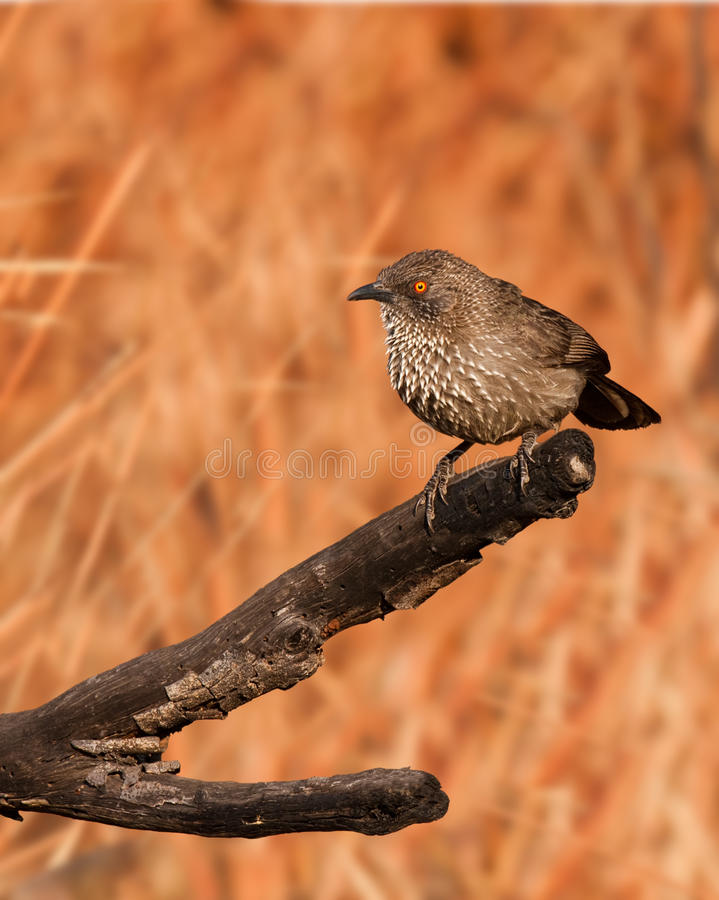Download Arrow Marked Babbler stock image. Image of insect, southern - 19554995