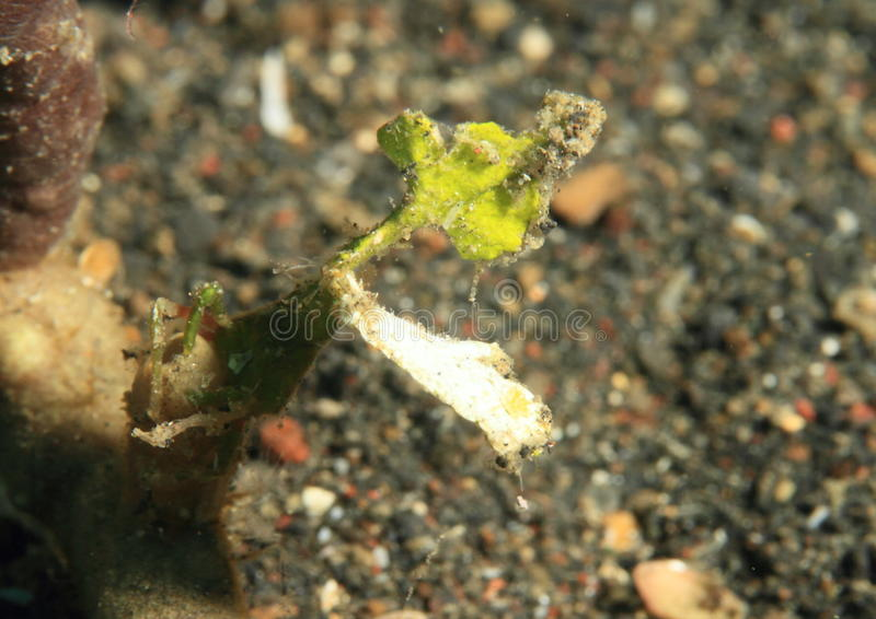 Arrowhead crab. (huenia heraldica) - Lembeh Strait, North Sulawesi, Indonesia royalty free stock photo