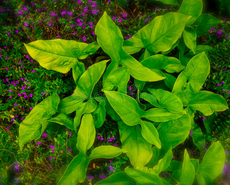 Arrowhead Green Plant. The common arrowhead Sagitaria latifolia has broad green leaves that bifurcate to form a arrowhead shape. Grows wild in the Pacific stock image