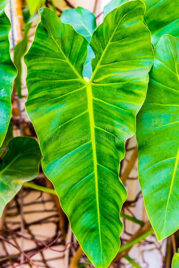 Arrowhead plant. Perhaps Anthurium sp. This is a vine or creeper that grows along the wall royalty free stock images