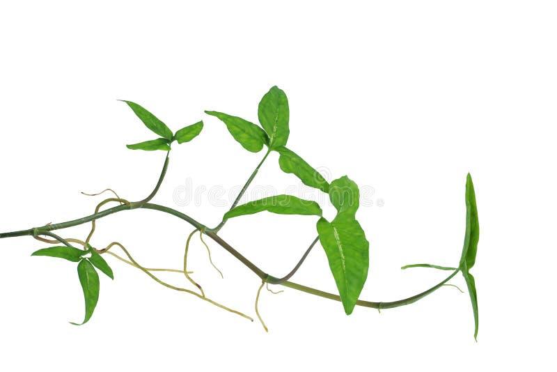 Arrowhead vine Syngonium podophyllum or American evergreen iso. Arrowhead vine Syngonium species or American evergreen isolated on white background, clipping royalty free stock image