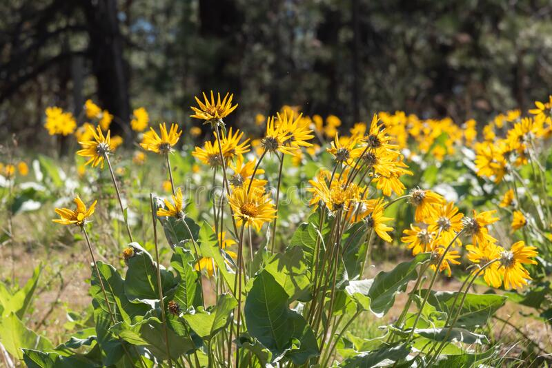 Arrowleaf Balsamroot Plants Flowering In Pine Forest ...