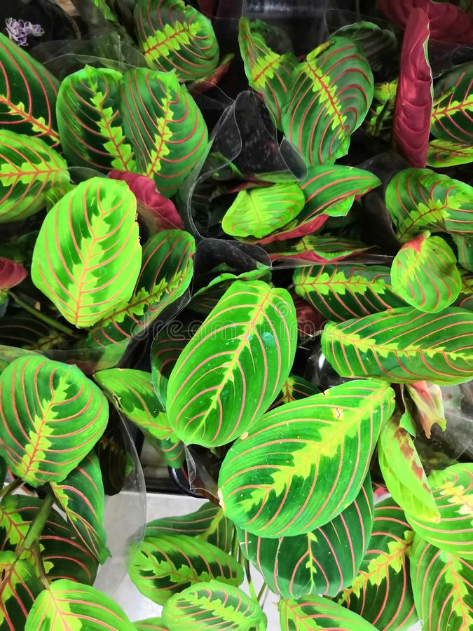 arrowroot paumes comme des usines avec les feuilles ovales photos libres de droits