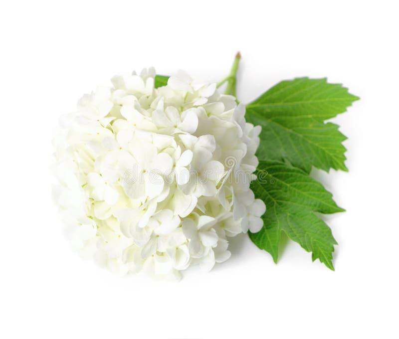Download Arrowwood stock image. Image of ornamental, bouquet, white - 32852265