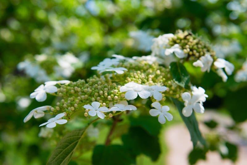 Arrowwood (Viburnum) bloemen royalty-vrije stock foto's