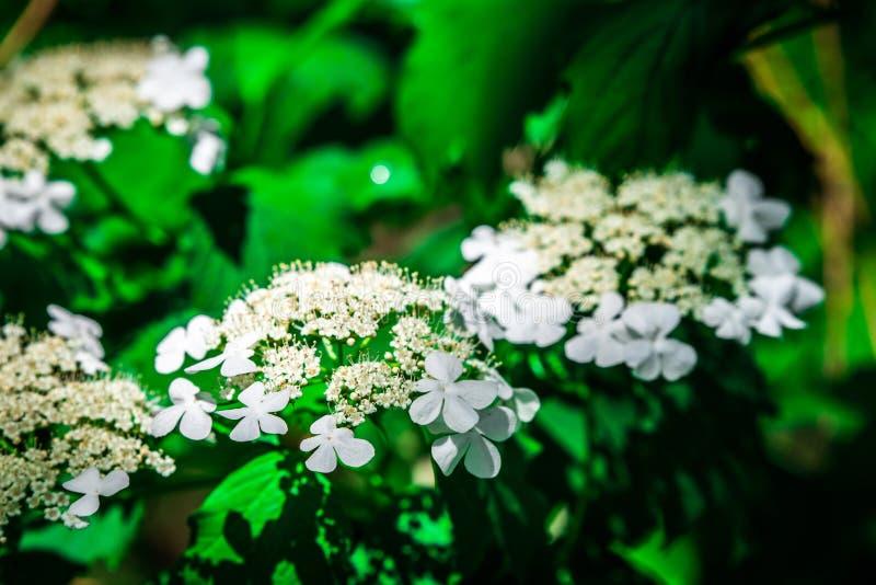 Arrowwood Viburnum kwitnie w wiośnie obrazy royalty free