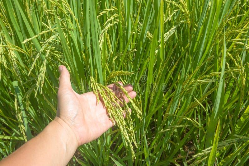 arroz imagens de stock