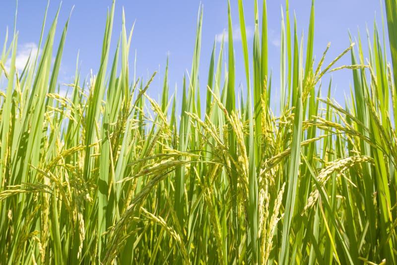 arroz foto de stock royalty free