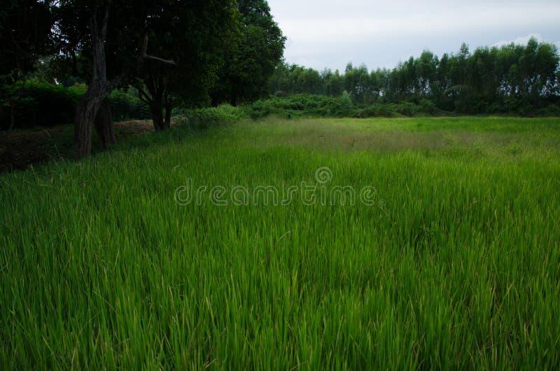 Arroz, campo de milho, verde fotos de stock royalty free
