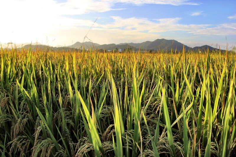 Arroz de arroz bajo sol imagen de archivo libre de regalías