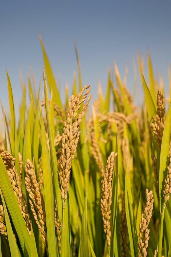 Arroz de arroz maduro foto de archivo