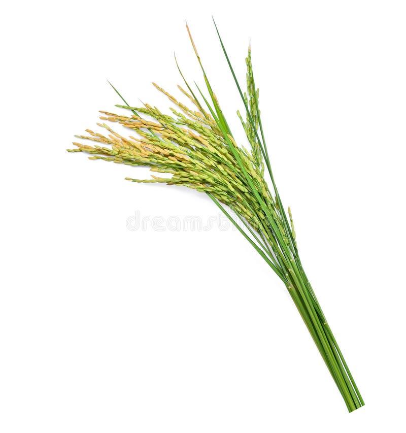 Arroz de arroz verde aislado en blanco foto de archivo