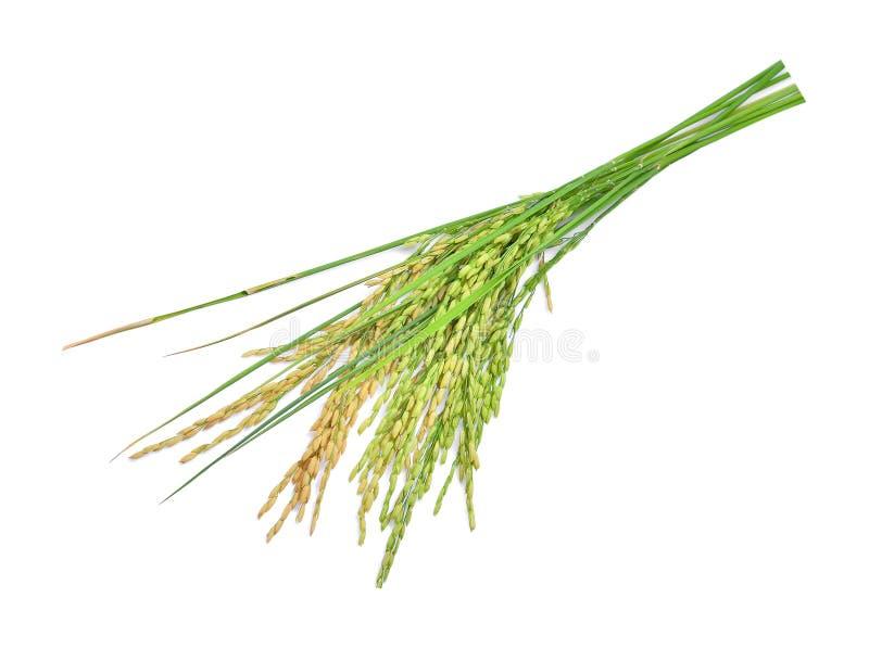 Arroz de arroz verde aislado en blanco imagenes de archivo