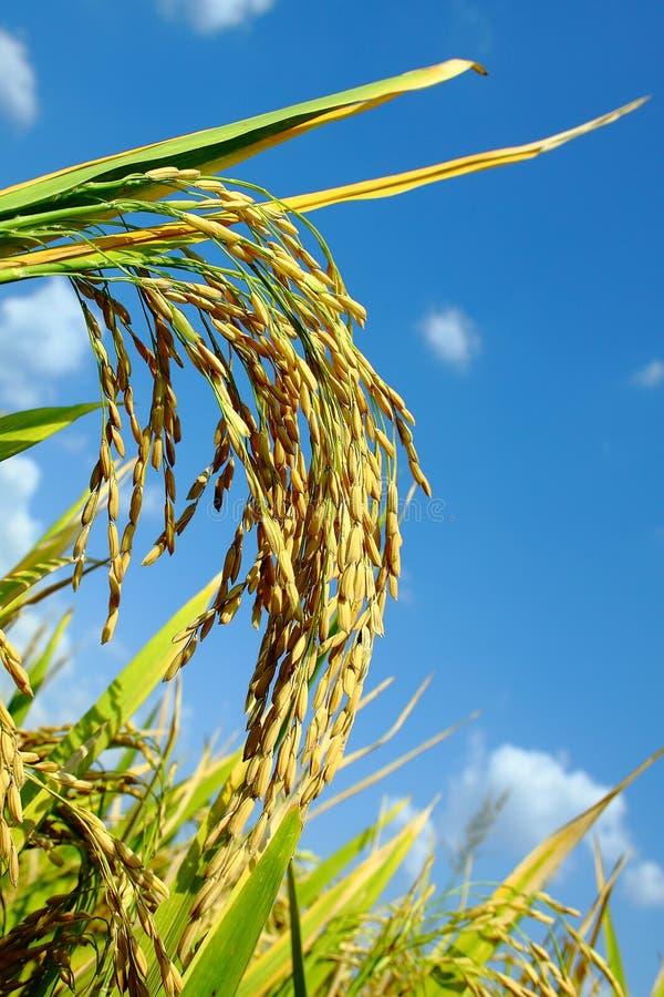 Arroz de arroz maduro El arroz es una comida de grapa de Asia imagen de archivo libre de regalías