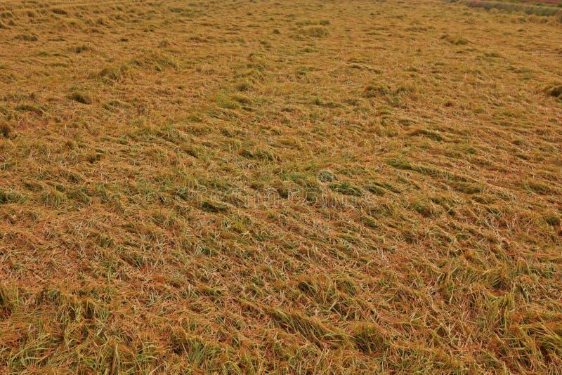 Arroz em colher o colapso do período de dano da causa da condição ventosa à qualidade da grão do arroz imagem de stock