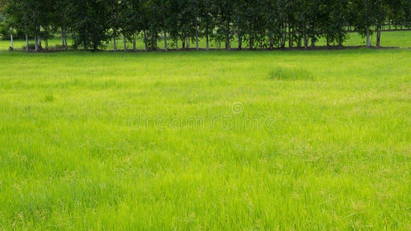 Arroz en el campo del arroz fotos de archivo libres de regalías