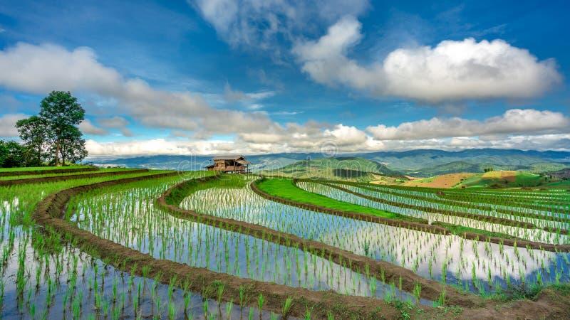 Arroz fresco Paddy Field Landscape imagem de stock