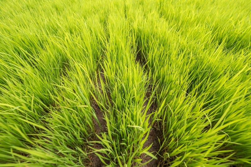 Arroz joven verde del campo del arroz Bali, Indonesia fotos de archivo
