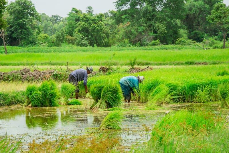 Arroz - planta do cereal, planta do cereal, planta, Ásia, Tailândia fotografia de stock