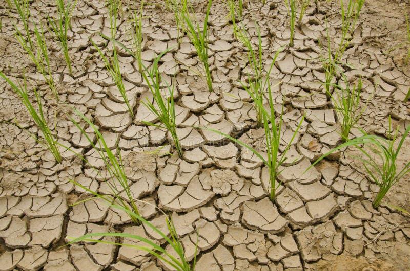 Arroz que crece en pista de la sequía imagen de archivo libre de regalías