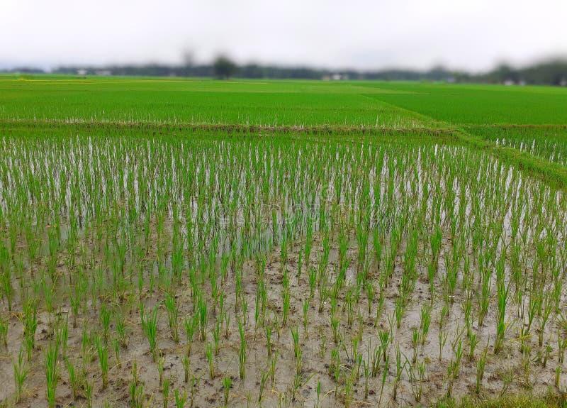 Arroz que cultiva en la India Plantas de arroz verdes en el campo Jard?n del arroz fotografía de archivo libre de regalías