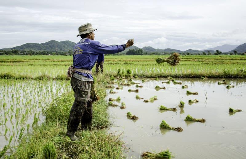 Arroz que lanza del granjero imagen de archivo
