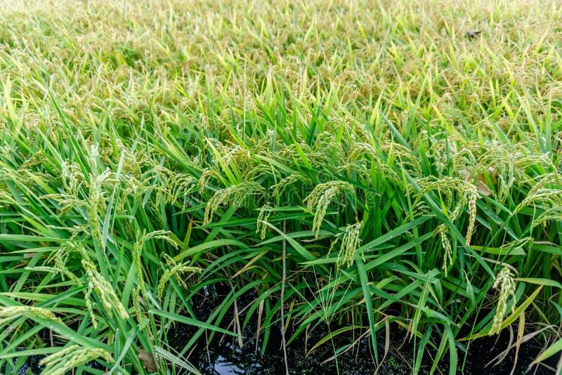 Arroz regordete de arroz de arroz de la cosecha de oro del arroz imágenes de archivo libres de regalías