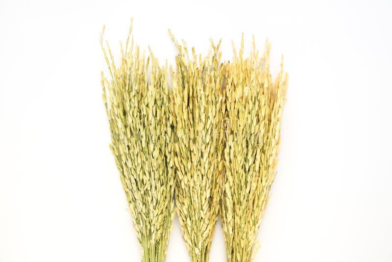 Arroz secado arroz verde aislado foto de archivo