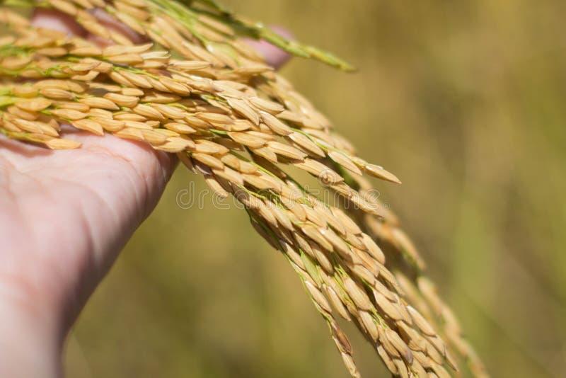 Arroz tailandés de Jusmine/Hawm Mali Rice /Jusmine/arroz de Riceberry fotografía de archivo libre de regalías
