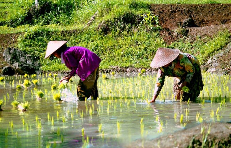 Arroz-trabajadores en Indonesia fotos de archivo libres de regalías